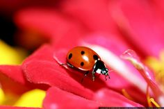 ladybug on a zinnia petal
