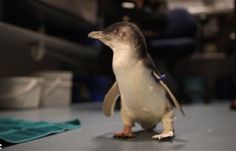 A custom made 3D printed foot brings some balance to Bagpipes, a deserving little penguin.