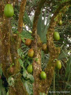 Calabash tree in Upper Carapichaima Trinidad, photographed by Rachel Amy Rochford