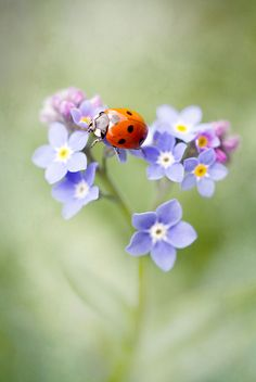 "♀ Bokeh flowers purple red ladybugs ""Forget me not"""