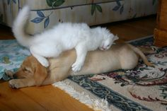 And now...a white kitten hugging a yellow lab puppy. - Imgur