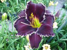 Photo of Daylily (Hemerocallis 'Buddy's Victoria Jade') uploaded by lyle627