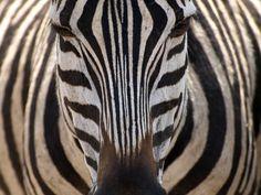 Plains Zebra Tanzania