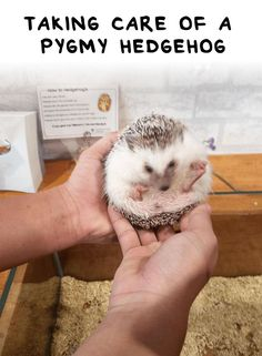 Taking Care of a Pygmy Hedgehog - Hedgehog Care and Lifestyle Ever wonder what it takes to have a pet hedgehog? Here's a guide on taking care of a pygmy hedgehog How to care for your hedgehog. Hedgehog care tips about toys and food. A hedgehog guide about Hedgehog Diet, Hedgehog Facts, Hedgehog Care, Baby Hedgehog, Pygmy Hedgehog Cage, Baby Animals, Funny Animals, Cute Animals, Small Animals