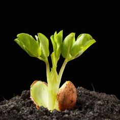 Jordnødder kan dyrkes i haven eller i gryder på jorden. Planting Vegetables, Vegetable Garden, Organic Gardening, Gardening Tips, Herb Garden Design, Garden Online, Inside Plants, Potager Garden, Bonsai Plants