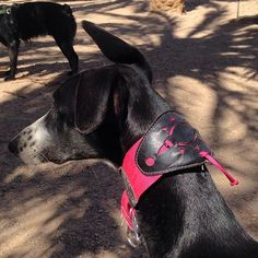 The SUN #collar in #sunny day! #dog #hound #perro #adopt #galgodecasanodecaza #collars#pink#black#galgo#greyhound#sighthound#martingale#handmade#madeinspain#hechoamano
