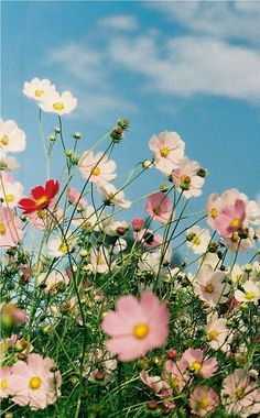 Flowers Nature, Wild Flowers, Beautiful Flowers, Bouquet Flowers, All Flowers Images, Cosmos Flowers, Flower Pictures, Summer Flowers, Flower Quotes