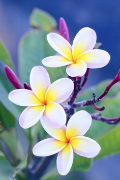 Plumeria - new favourite flower... Can't get enough of these!