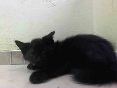 TO BE DESTROYED 9/6/14 ** BABY ALERT! ONLY 9 WEEKS OLD! Friendly and allows handling- MALE CAME WITH QUEEN (SASHA) A1012224 AND LITTER MATES A1012226 AND A1012225 ** Brooklyn Center My name is SAM. My Animal ID # is A1012227. I am a male black domestic sh mix. The shelter thinks I am about 9 WEEKS old. I came in the shelter as a STRAY on 08/29/2014 from NY 11235, Group/Litter #K14-192203.