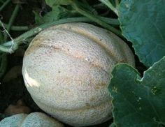 Missouri Gold Muskmelon - need a muskmelon next year that can better withstand hot and dry conditions. Spring Vegetable Garden, Vegetable Garden Planning, Spring Garden, Lawn And Garden, Growing Gardens, Growing Plants, Growing Vegetables, Garden Seeds, Planting Seeds