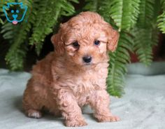 This attractive Mini Poodle puppy will make a great addition to any family. She is a real bundle of joy and will be a nice family pet. Baby Puppies For Sale, Mini Puppies, Fluffy Puppies, Baby Dogs, Cute Dogs And Puppies, Mini Poodle Puppy, Teddy Bear Poodle, Mini Poodles, Toy Poodle Puppies