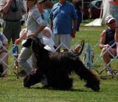 best in breed afghan hound - Google Search