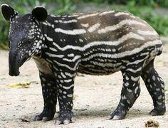 Tapir predators of asian