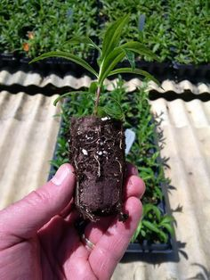 """""""We have another California grower moving to Ellepots for perennial propagation. Took off prop time for Penstemon. Propagation, Horticulture, Dog Tags, Perennials, Dog Tag Necklace, Bolivia, California, Jewelry, Agriculture"""