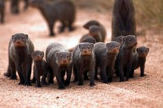 """Banded Mongooses (Mungos mungo) - the plural of mongoose is mongooses, not mongeese because the word """"mongoose"""" is the English form of an Indic language word, """"mangus"""".  