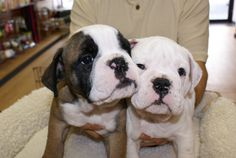 Mini bulldog puppies for sale in the Westchester, New York, Long Island and NYC area. Finest mini bulldog puppies for sale from reputable breeders. Mini Bulldog, Bulldog Puppies For Sale, English Bulldog Puppies, Dogs And Puppies, French Bulldog, Teacup Yorkie, Teacup Puppies, Miniature English Bulldog, Westchester New York