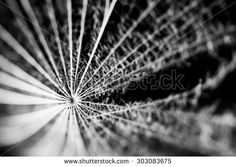 Dandelion seeds with details