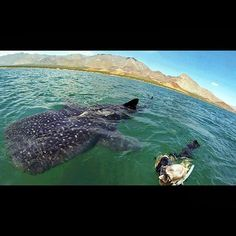 """""""Extremely fortunate for encounters like these in Bahia de Los Angeles"""" Are you ready for a summer adventure? Begin today by visiting www.discoverbajacalifornia.com #Roadtrip #Vacation #BajaCalifornia  (adventure by Charles Harmer)"""
