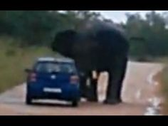 "Idiots On Safari… In case you're a little fuzzy on the whole ""Good VS Bad"" thing…. …Don't Stalk a Bull Elephant:."
