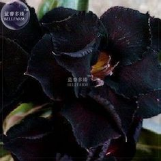 Adenium obesum Black Steel, known as Karoo rose, desert rose or impala lily, a caudiciform with completely black flowers - very rare. Desert Rose Plant, Desert Plants, Dark Flowers, Beautiful Flowers, Simply Beautiful, Bonsai Seeds, Dry Plants, Black Garden, Carnivorous Plants
