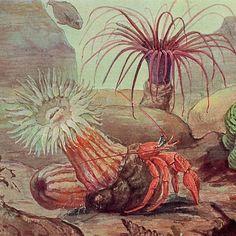 1869 sea anemones original rare antique ocean by antiqueprintstore