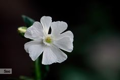 White Wildflower in the Garden 616 by Thomas Jerger on 500px
