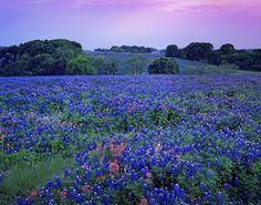 texas bluebonnets. part of my soul <3