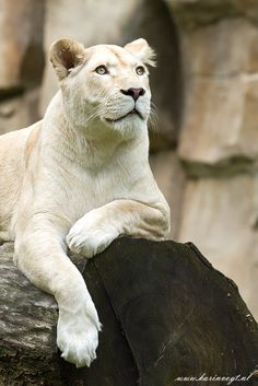 Animal Stories | Rare, Endangered African White Lions by Karin Vogt