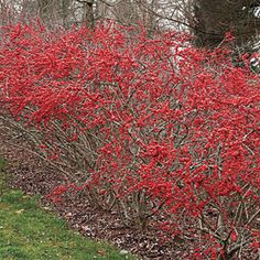 possumhaw - a deciduous holly. Silvery bark and rounded tip leaves.  It loves the acid soil of East Texas.  Plant 'Winter Red' in the sun for more berries.