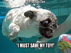 This sounds like my neighbor's retriever than a pug... PUGS CAN'T SWIM- or at least Milo can't...
