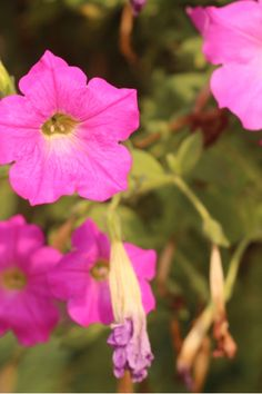 It is hard to beat the color and beauty of wave petunias blooming in all their glory. Learn how to keep your waves blooming and booming all summer long! Petunia Care, Petunia Plant, Petunia Flower, Garden Soil, Garden Care, Garden Plants, Raised Garden Beds, Potted Plants, Vegetable Garden