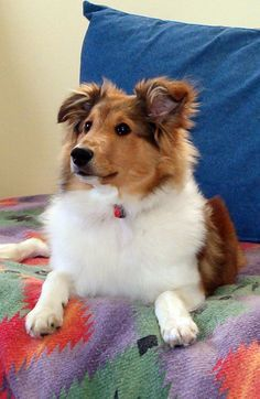 Molly when she was 7 months old. Sheltie