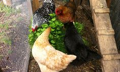Better Food For Chickens?