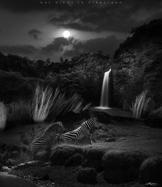 """One Night in Zebraland II""  Have you ever dreamed of a land of wonderful wild animals?  [ This is a post-edited photograph. Blended four of my pictures into one: (1) A sunset shot taken in Sweetwaters as the background,  (2) A waterfall shot taken in Lake Nakuru as the background too,  (3) A close-up shot of zebra's mane taken in Nairobi as the bushes, and with  (4) The zebras and the foreground taken in Maasai Mara, Kenya. ]  Lenses used: EF17-40mm f/4L USM EF70-200mm f/4L IS USM EF300mm…"