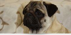 PAYASO PUGS   VDH   FCI   Liebevolle Zucht für Möpse im VDH, FCI, DMC. Seit über 20 Jahren Erfahrung in Aufzucht, Erziehung und Ernährung. Viele hilfreiche Tipps für Hunde- und Mopsliebhaber