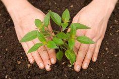 Vezi cand semeni ardeiul, tomatele, telina, castravetii si alte legume si plante furajere. Afla perioada de plantare a rasadului si cand se recolteaza