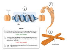Chromatin conformation and DNA accessibility are central to gene expression