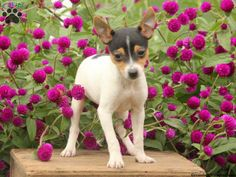 Bessa, Toy Fox Terrier puppy for sale from Elizabethville, PA