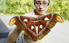 """""""Butterfly keeper Heather Prince holds one of a newly-emerged Atlas Moth (Attacus Atlas) a Chester Zoo. With a wingspan of 30cm it is the largest moth species in the world.""""  (Picture: Peter Byrne/PA)"""