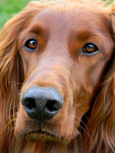 Irish Dogs - Irish Setter Close up- Rufus (by All Dogs, I Love Dogs, Best Dogs, Cute Dogs, Dogs And Puppies, Doggies, Beautiful Dogs, Animals Beautiful, Cute Animals