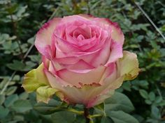 Esperance is a medium pink rose with green outer petals. It holds its shape and blooms quickly.