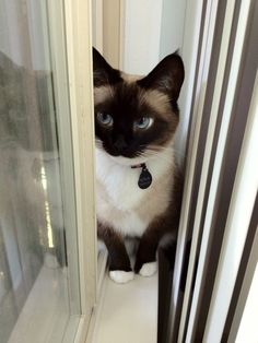 LOOKIT THE EYES ON THIS KITTEH! She looks like an anime... So cute lacking the inverted v. #SiameseCat