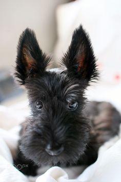 Scottish Terrier puppy at 3 months old