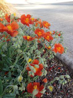 Helianthemum Nummularium -- Sun Rose