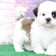Teacup Shih Tzu puppies for adoption | akc Shih Tzu puppies | Teacup Shih Tzu puppies for sale | akc Shih Tzu puppies for sale | baby Shih Tzu | puppies for sale | baby Shih Tzu for adoption | baby Shih Tzu for sale | black Shih Tzu puppies for sale | buy Shih Tzu puppy | buy Shih Tzu  | cheap Shih Tzu puppies,cheap Shih Tzu puppies for sale | cheap Shih Tzu for sale | Shih Tzu puppies for sale | Shih Tzu dogs for adoption | Shih Tzu dogs for sale near me | Shih Tzu puppies available | Shih Tzu Teacup Shih Tzu, Baby Shih Tzu, Shih Tzu Puppy, Shih Tzu For Sale, Teacup Yorkie For Sale, Free Puppies For Adoption, Teacups For Sale, Cheap Puppies, Cavachon Puppies
