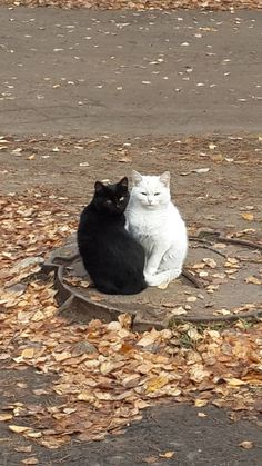 Two Cats, one black one white, sitting on a man hole, ebony & Ivory in perfect harmony, God bless their souls.