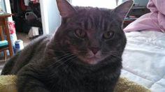 Charlotte, my rescue American Shorthair