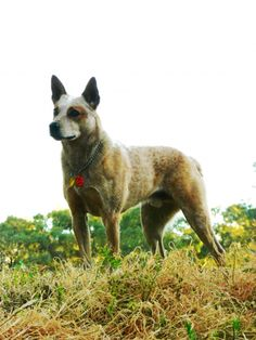 """Australian Stumpy Tailed Cattle Dog, often referred to as a """"Stumpy Heeler"""". Although they are related to Australian Cattle Dog, Stumpys are proportionally heavier, less leggy, and have a naturally bobbed tail. Stumpy Heelers also do not have the """"tan"""" markings that Australian Cattle dogs have."""