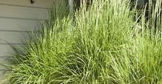 Plant lemon grass in big pots for the patio. It repels mosquitoes and it grows tall. | Green thumb | Pinterest | Gardens, Container gardening and Student-cente…