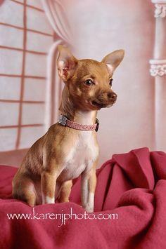 Chihuahua sweetness!
